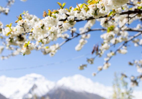 Cherry Blossom Season Tour Hunza 2021
